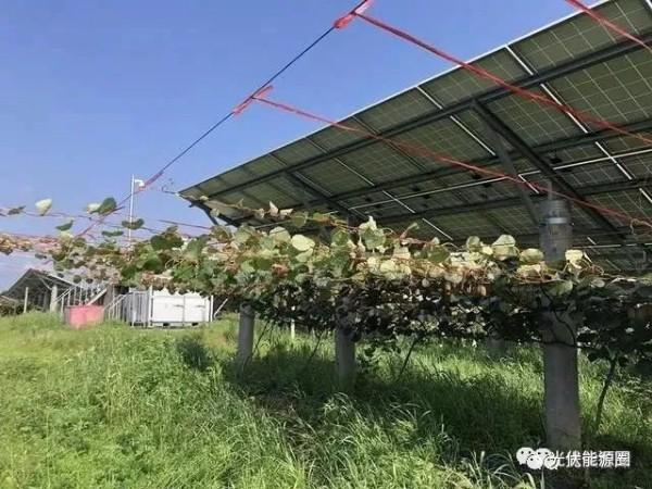 光伏板下种猕猴桃,每亩纯收益超5000元!